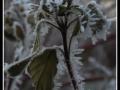 Omrzlé větve